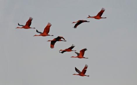 sandhill-cranes-evening-flight-10-_9561